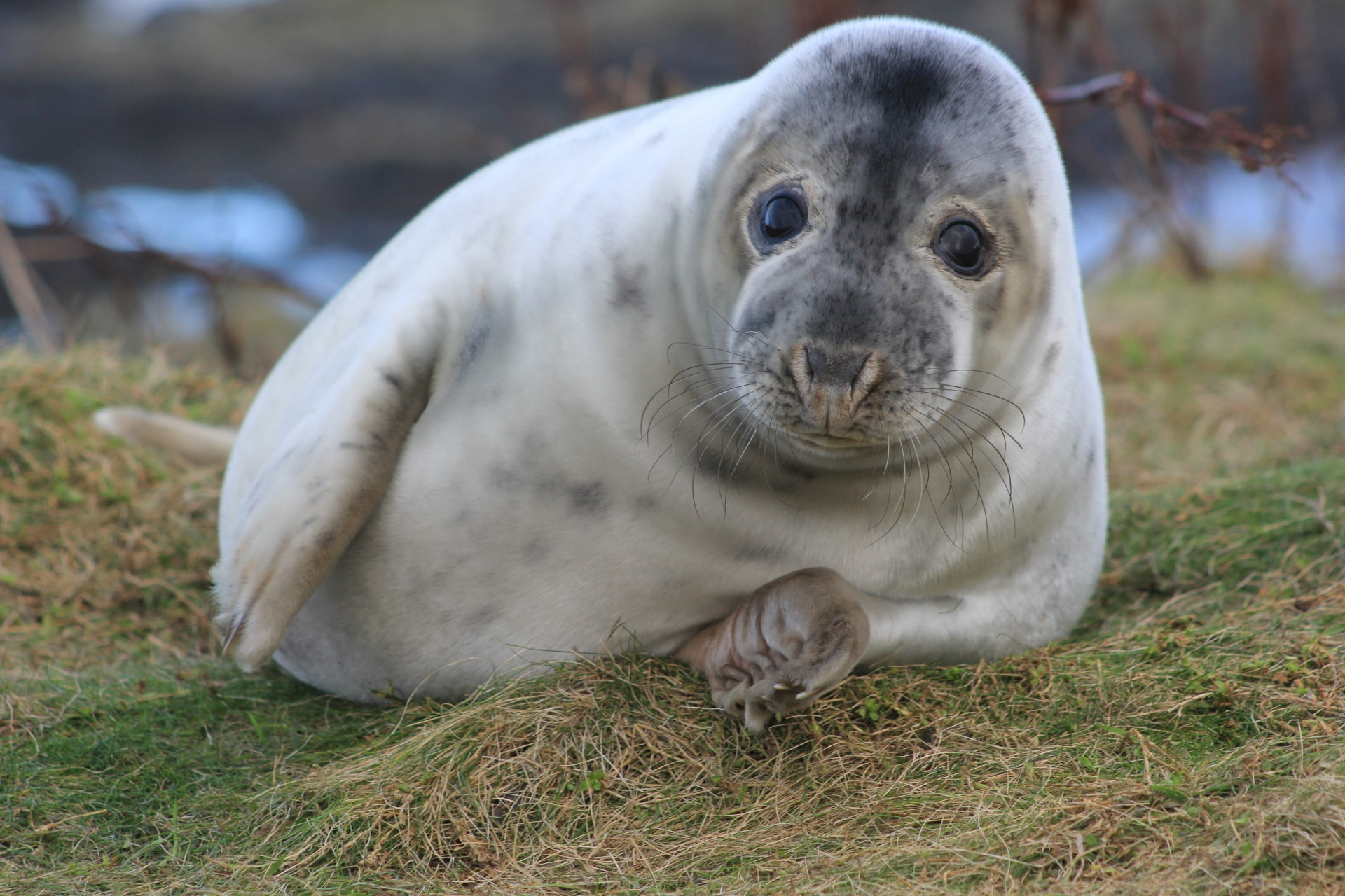 Baby seals at risk from chemicals in mothers' milk